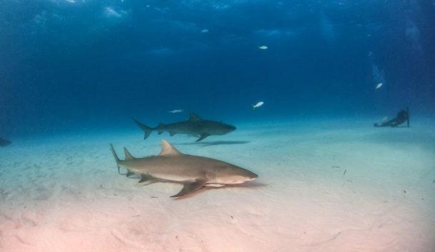 Haie unter Wasser
